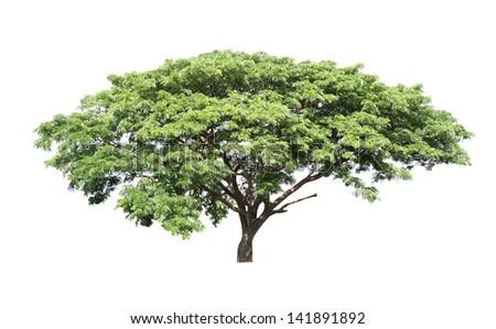 Rain tree (Samanea saman) ,Tree in Thailand ,isolated on white background - stock photo