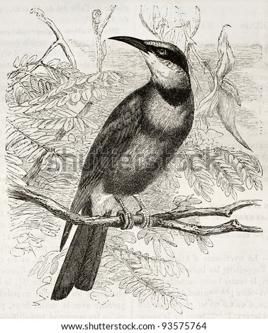 Rainbow Bee-eater old illustration (Meropa ornatus). Created by Kretschmer and Jahrmargt, published on Merveilles de la Nature, Bailliere et fils, Paris, ca. 1878 - stock photo