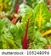 Rainbow chard growing in a garden - stock photo