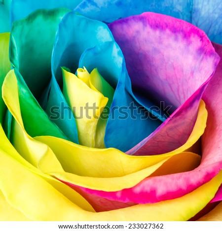 Rainbow colors rose. Rose close-up - stock photo