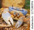 Rainbow crab - stock photo