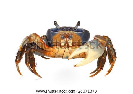 Rainbow crab - stock photo