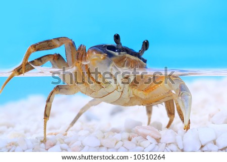 Rainbow crab under water - stock photo