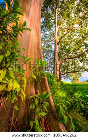 rainbow eucalyptus tree maui stock photo royalty free 1053406262