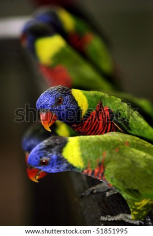 Rainbow Lorikeet 1