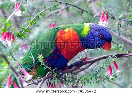 Rainbow lorikeet, Australian parrot, on native heath fuchsia - stock photo