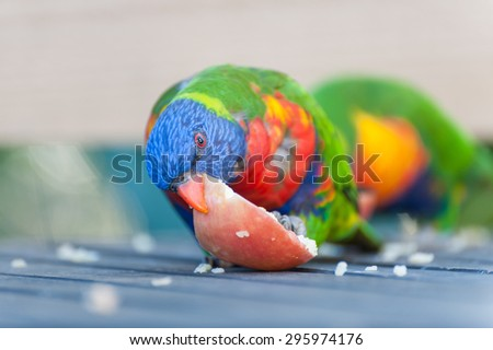 Rainbow Lorikeet eating an apple - stock photo