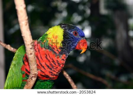 Rainbow Lorikeet ( parrot sitting on a branch - stock photo