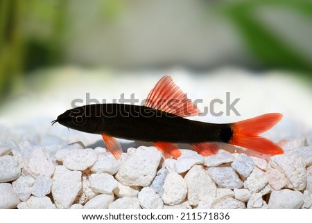Wels catfish stock images royalty free images vectors for Red tail shark fish