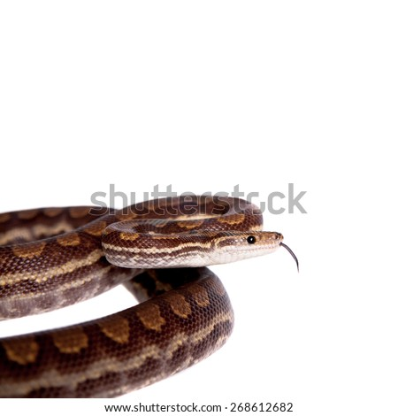 Rainbow tree boa, Epicrates Crassus, isolated on white background - stock photo