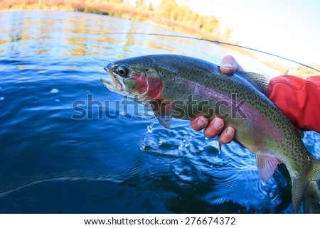 Rainbow Trout  - stock photo