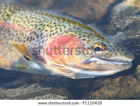 Rainbow Trout - Close up of a freshly caught fish in the water - stock photo
