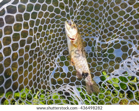 Rainbow trout in a landing net - stock photo
