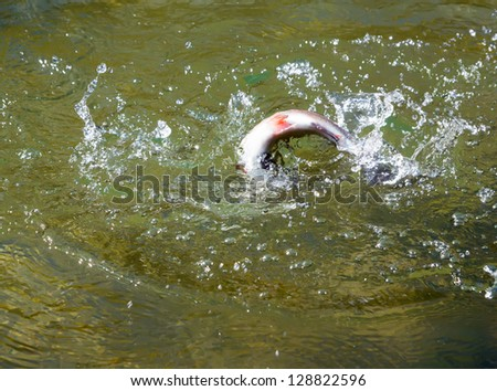Rainbow trout is trying to get off the hook - stock photo