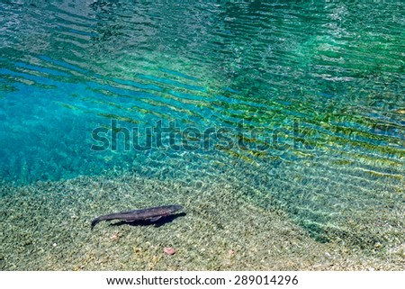 Rainbow trout (Oncorhynchus mykiss) in a beautiful lake - stock photo