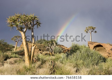 Rainbow with quiver trees on a hill in South Africa - stock photo