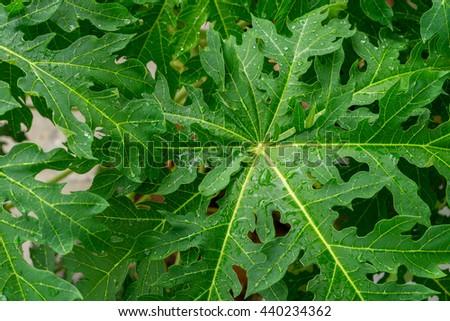 raindrop on papaya leaf - stock photo