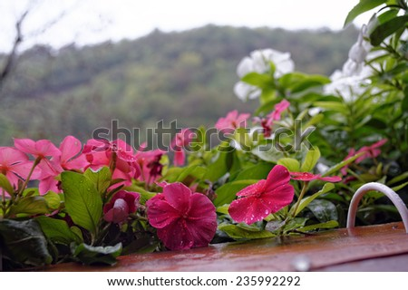 Raindrops falling on pink and white periwinkle (vinca) on the window. - stock photo