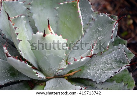 Raindrops on a grey spikey Agave succulent plant - stock photo