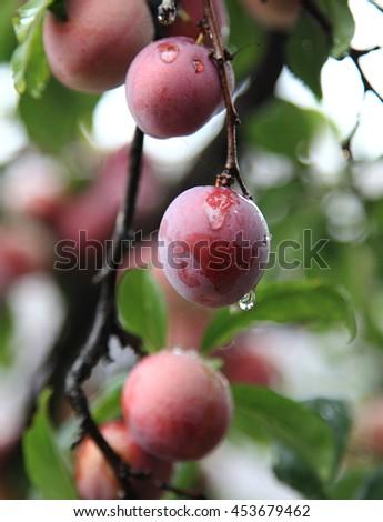 Raindrops on plums - stock photo