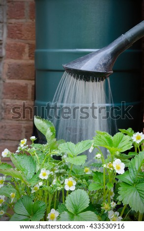 rainwater tank and watering can, watering strawberry plants in pot. - stock photo