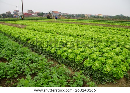 Raised beds of lettuce in irrigated field along the Red River near Haiphong Vietnam - stock photo