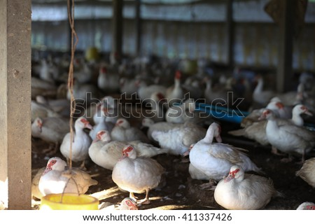 Raising meat duck species Baba ferries To supplement income. Raising ducks, easy-resistant diseases domesticate Bari BA easy to grow fast. There are also huge demand market.