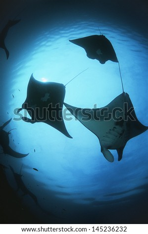 Raja Ampat Indonesia Pacific Ocean silhouettes of manta rays (Manta birostris) low angle view - stock photo