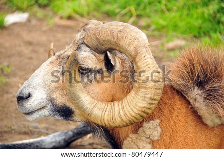 Ram Meanings and Symbolic Thoughts about the Ram The animal symbolism of the ram speaks of: Power, Force, Drive, Energy, Virility, Protection, Fearlessness. - stock photo