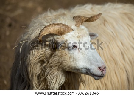 ram or rammer, male of sheep in rural farm