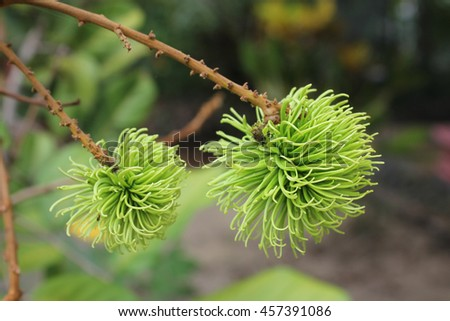 Rambutan. Green Rambutan on the tree in the garden. Tropical fruit, Rambutan on tree in garden.junior rambutan In the garden at Malaysia