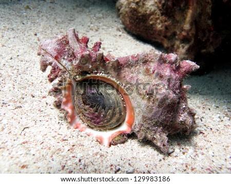 Ramose Murex (Chicoreus ramosus) Colorful Giant shell on the sandy bottom - stock photo