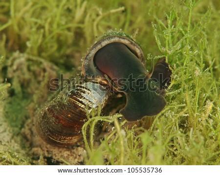 Rams horn snail (Planorbarbius corneus) - stock photo