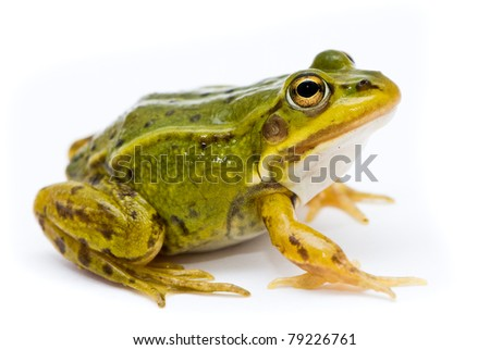 Rana esculenta. Green (European or water) frog on white background. - stock photo