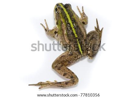 Rana ridibunda. Lake frog on white background - stock photo