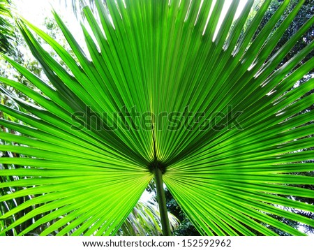 Range of decorative palm leaf in the Amazon rainforest, Brazil - stock photo