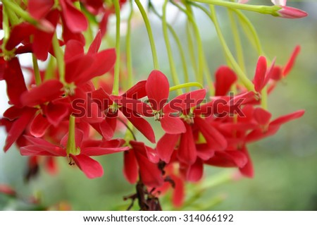 Rangoon creeper vine with red flowers and fragrant, which is found in Asia. - stock photo