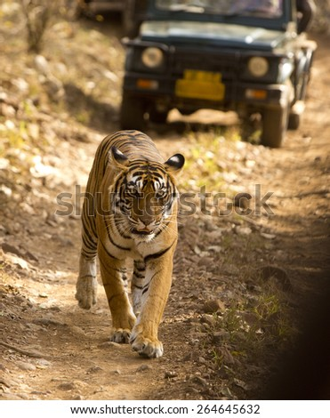 RANTHAMBORE, INDIA, MARCH 11 2015. Following the Indian Government's tiger protection initiatives the wild tiger population has doubled in the past few years - stock photo