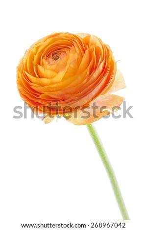 Ranunculus asiaticus on white background - stock photo