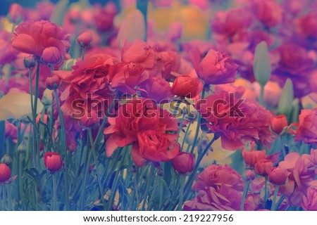 ranunculus Cultivar as part of Toowoomba carnival of flowers - stock photo