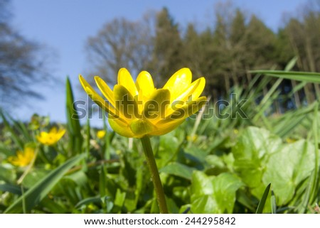 Ranunculus ficaria ( Ficaria verna ) in a meadow. - stock photo