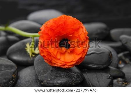 ranunculus flower and black stones  - stock photo