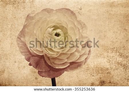 Ranunculus retro card - stock photo