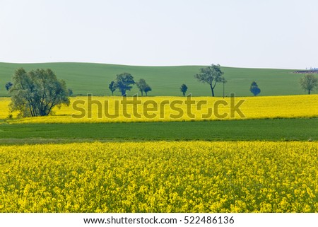 rape blossoms in moravia