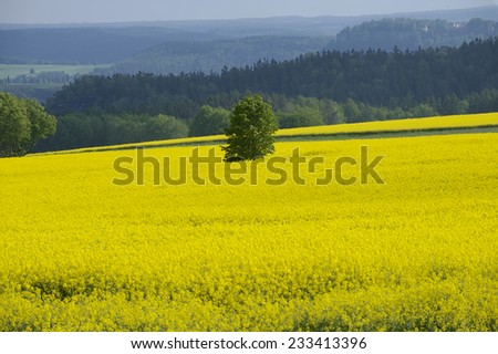 Rape field in early spring in Saxony, Germany. Rapeseed is mainly cultivated for bio fuel production.  - stock photo