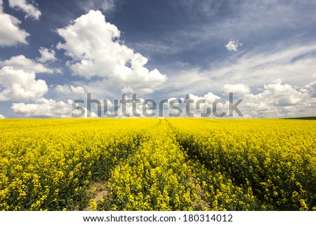 Rape field in northeastern Pomerania , Poland./Rape field  - stock photo