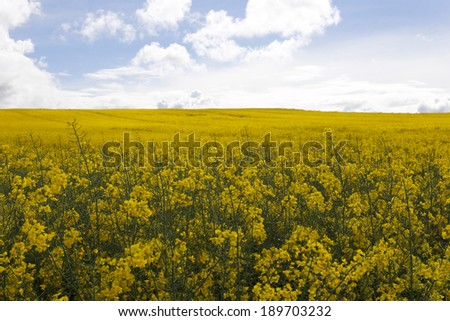 rape field in spring day with blue sky and clouds - stock photo