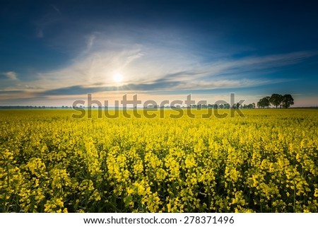 Rape field landscape. Calm rural countryside landscape with field of blooming rape.
