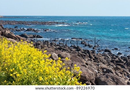 Rape flowers - symbol of Jeju-do Island of Korea - stock photo