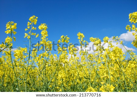 Rape seed flowers at a blue sky with white clouds. - stock photo